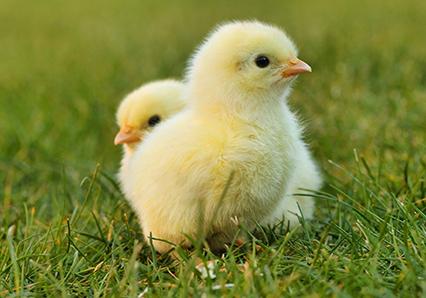 Fluffy springtime chicks