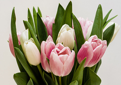 Bouquet of pink and white tulips